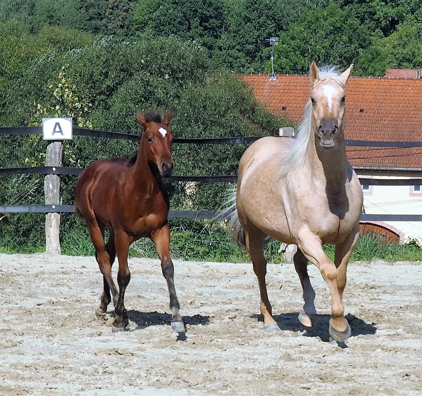 Verkaufspferde/ Quarte...